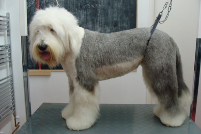 Noah the Old English Sheepdog Old English Sheepdog Kent